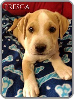 Labrador Retriever/American Staffordshire Terrier Mix Puppy for adoption in DeForest, Wisconsin - Fresca