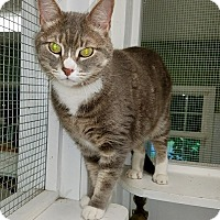 "Domestic Shorthair Cat for adoption in Stevensville, Maryland - Onyx ""Dolce"""