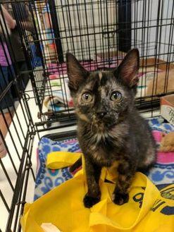 Domestic Shorthair/Domestic Shorthair Mix Cat for adoption in Edmond, Oklahoma - Summer