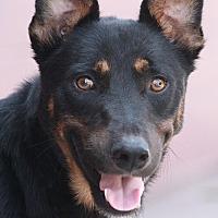 Adopt A Pet :: Rocky von Rottweil - Los Angeles, CA