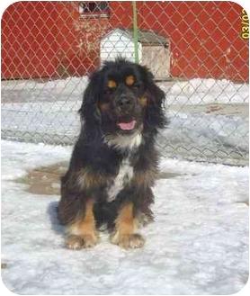 Cocker Spaniel Mix Dog for adoption in Austin, Minnesota - Chowder