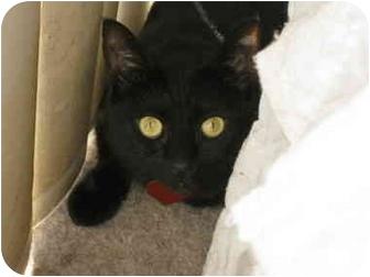Domestic Shorthair Cat for adoption in Yorba Linda, California - Maya