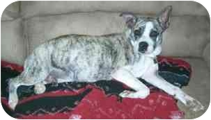 Boxer/English Bulldog Mix Dog for adoption in Wake Forest, North Carolina - Millie
