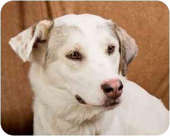 Great Pyrenees/Husky Mix Dog for adoption in Anna, Illinois - JILLAROO