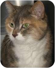 Domestic Shorthair Cat for adoption in Wheaton, Illinois - Lotti