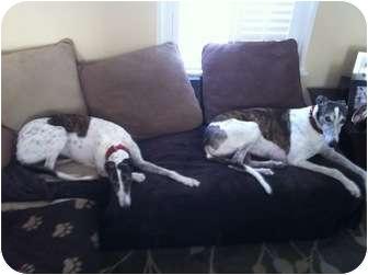 Greyhound Dog for adoption in West Palm Beach, Florida - Cheeks & Francis