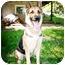 Photo 1 - German Shepherd Dog Dog for adoption in Howell, Michigan - Sammi- video