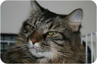 Domestic Longhair Cat for adoption in Frederick, Maryland - Fran