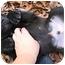 Photo 2 - Labrador Retriever Mix Puppy for adoption in Preston, Connecticut - Chip
