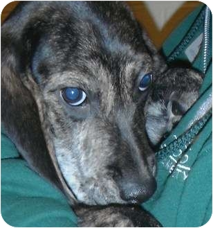 Beagle/Mountain Cur Mix Puppy for adoption in Jackson, Michigan - Loki