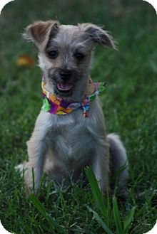 Maltese/Poodle (Toy or Tea Cup) Mix Puppy for adoption in Cranford, New Jersey - Sassy