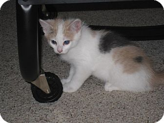 Domestic Shorthair Kitten for adoption in Pittstown, New Jersey - Mallory