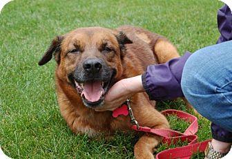 Spaniel (Unknown Type)/Shepherd (Unknown Type) Mix Dog for adoption in Northville, Michigan - Brady