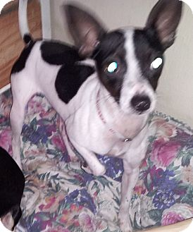 Chihuahua Dog for adoption in Houston, Texas - Pogo