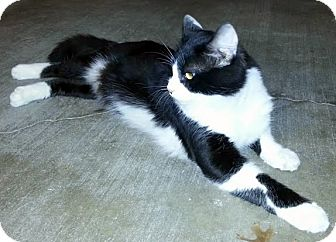 Norwegian Forest Cat Cat for adoption in Denton, Texas - Pirate