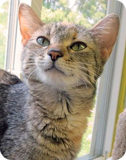 Domestic Shorthair Cat for adoption in Marseilles, Illinois - Estelle