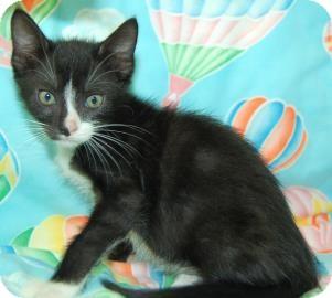Domestic Shorthair Kitten for adoption in Bradenton, Florida - Salem