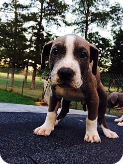 Boxer/Labrador Retriever Mix Puppy for adoption in CHICAGO, Illinois - BLUE