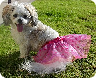Lhasa Apso/Poodle (Miniature) Mix Dog for adoption in Fountain Valley, California - Lucy