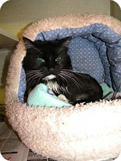 Domestic Longhair Cat for adoption in Parkville, Missouri - Ava-November special $20.00 adoption fee for adult