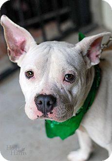Bulldog/French Bulldog Mix Dog for adoption in Baton Rouge, Louisiana - Abner