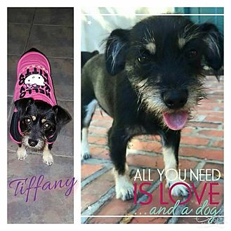 Terrier (Unknown Type, Small) Mix Dog for adoption in Walker, Louisiana - Tiffany