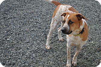 German Shepherd Dog/Hound (Unknown Type) Mix Dog for adoption in Seattle, Washington - Buddy