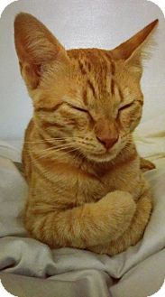 Domestic Shorthair Kitten for adoption in Piscataway, New Jersey - Sunny