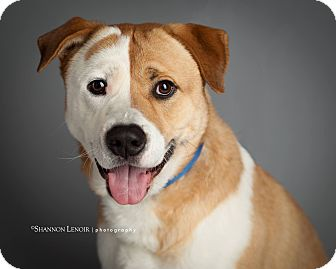 Boxer/St. Bernard Mix Dog for adoption in Rochester, New Hampshire - Chico