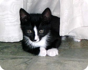 Domestic Mediumhair Kitten for adoption in Penndel, Pennsylvania - Buster