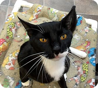 Domestic Shorthair Cat for adoption in Wilmington, Delaware - Calvin