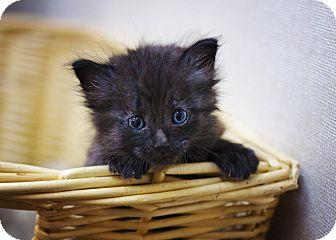 Domestic Longhair Kitten for adoption in Sterling, Kansas - Jelly Bean