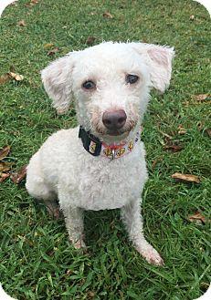 Poodle (Miniature) Mix Dog for adoption in Boca Raton, Florida - Rudy