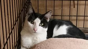 Domestic Shorthair Cat for adoption in Chino, California - Jesse