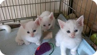 Domestic Shorthair Kitten for adoption in Trenton, New Jersey - Mishka's Babies - ONE LEFT!!