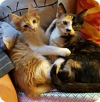 Domestic Mediumhair Kitten for adoption in Anderson, South Carolina - Gemma & Nero