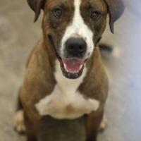 Adopt A Pet :: Brownie - justin, TX