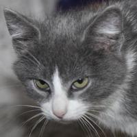 Domestic Mediumhair/Domestic Shorthair Mix Cat for adoption in Tilton, Illinois - Cisco