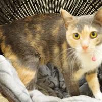 Adopt A Pet :: Indy - Burleson, TX