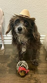 Cairn Terrier Mix Dog for adoption in Dallas, Texas - MADDIE