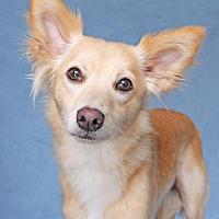 Adopt A Pet :: Moxie - Encinitas, CA