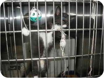 Domestic Mediumhair Kitten for adoption in MARION, Virginia - 3 Musketeers