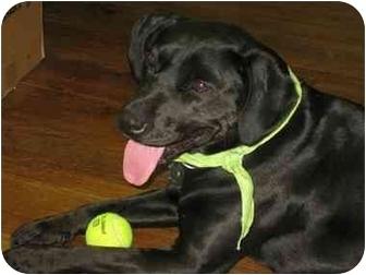 Labrador Retriever Mix Dog for adoption in Lake Odessa, Michigan - Jessie
