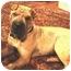 Photo 2 - Shar Pei Dog for adoption in Houston, Texas - Amaris