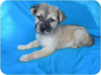 Australian Shepherd/Labrador Retriever Mix Puppy for adoption in Salem, New Hampshire - Lyric