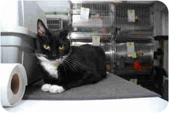 Domestic Shorthair Cat for adoption in New York, New York - Noel