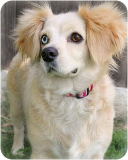 Cocker Spaniel/Dachshund Mix Dog for adoption in Los Angeles, California - Wednesday