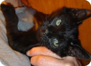 Domestic Shorthair Kitten for adoption in Franklin, West Virginia - Alfalfa