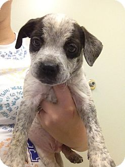 Boxer/Bluetick Coonhound Mix Puppy for adoption in Alamosa, Colorado - Merlin
