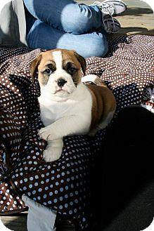 Boxer Mix Puppy for adoption in Arden, North Carolina - Zeus